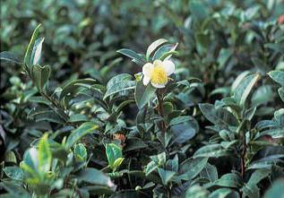 茶の花の写真